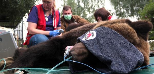 Vor dem Transport untersucht die Tierärztin die Bärin kurz.