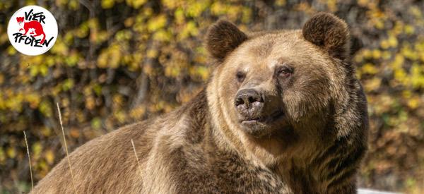 Bär Teddy genießt sein neues Leben im TANZBÄRENPARK Belitsa.