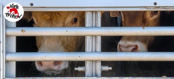 VIER PFOTEN fordert ein Ende der Langstreckentransporte lebender Tiere.