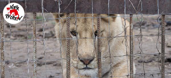 VIER PFOTEN will sieben Löwen aus schlechter Privathaltung in Rumänien retten.