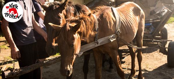 Schwerstarbeit und schlechte Haltung: Arbeitspferde im Süden Rumäniens.
