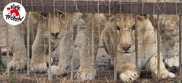 VIER PFOTEN rettet sieben Löwen aus schlechter Privathaltung in Rumänien.