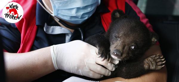 VIER PFOTEN rettet Bärenbaby Mochi in Vietnam.