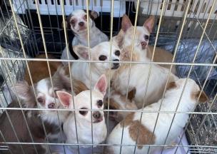 © Chihuahua Rescue Hungary